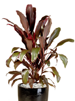 indoor plant hire cordyline rubra