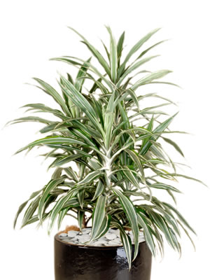 indoor plants dracaena deremensis