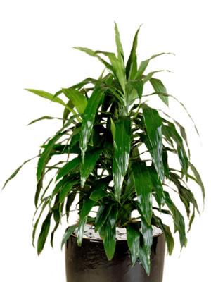 indoor plants dracaena janet craig