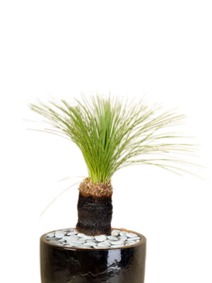 indoor plants grass tree