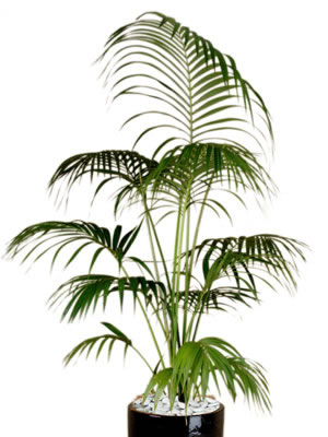 office plant hire kentia palm
