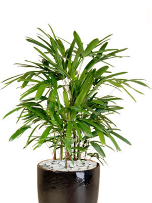 office plant hire rhapis palm