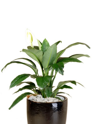 office plants spathiphyllum