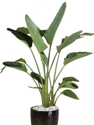 office plants strelitzia