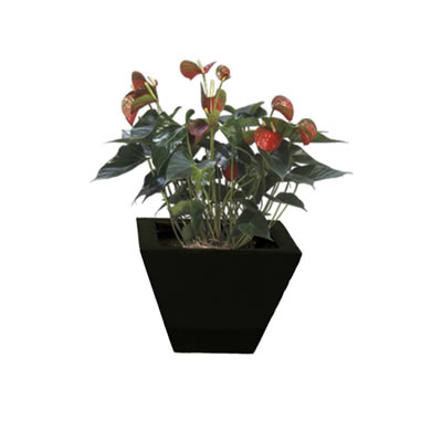 anthurium in black wedge