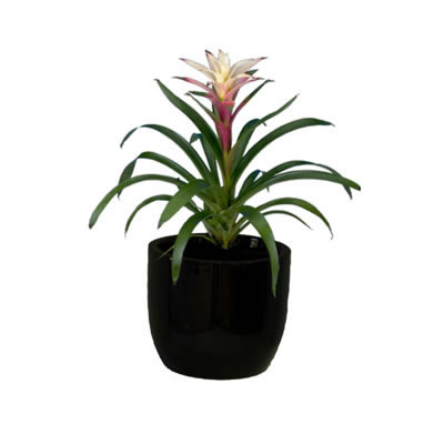 bromeliad in black bowl