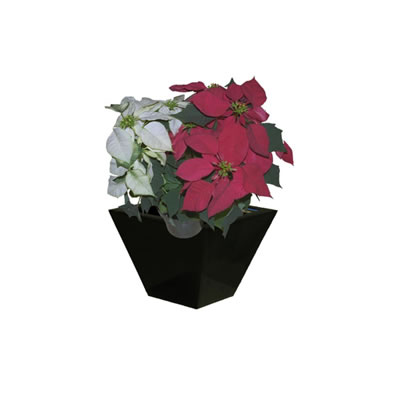 poinsettia in black wedge