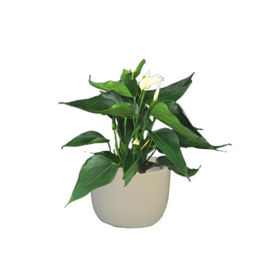 spathiphyllum in white mini garden bowl