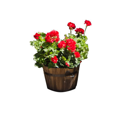 geranium plant in wooden half oak barrel
