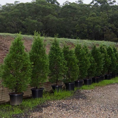 conifer hedge plant hire