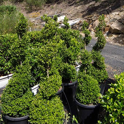 spiral topiary plant hire