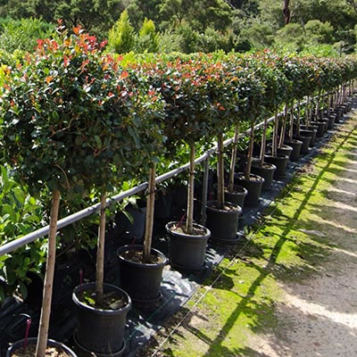 topiary plant hire
