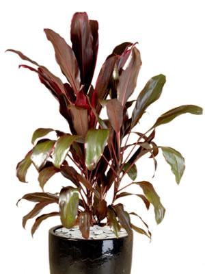 indoor plant hire cordyline rubra