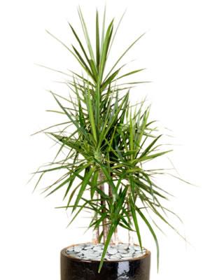 indoor plants dracaena marginata