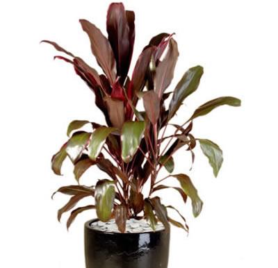plant info cordyline rubra
