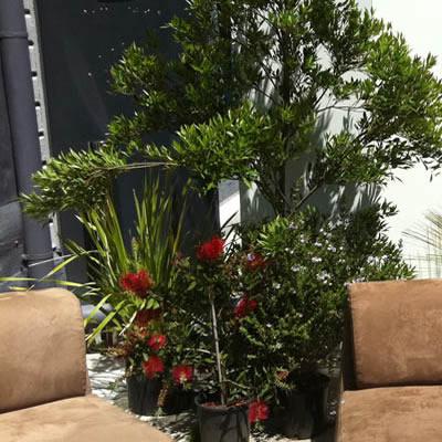 casual australian native plant hire
