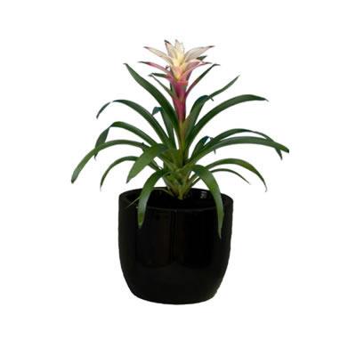 bromeliad in black bowl