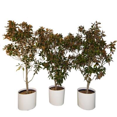 magnolia specimens