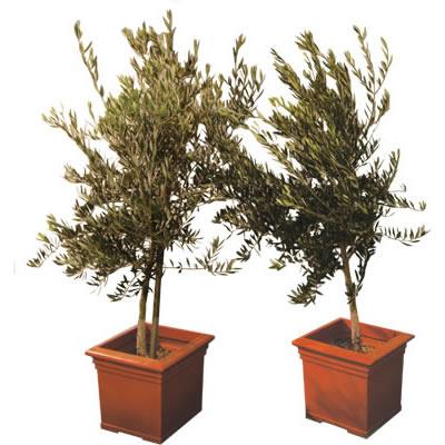 olive specimen