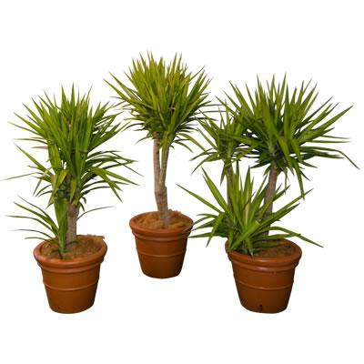 sculptured yuccas