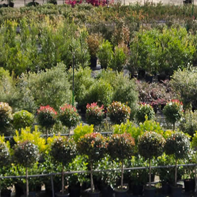 topiary specimens plant hire